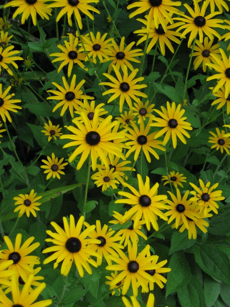 Blooming black eyed susan flowers