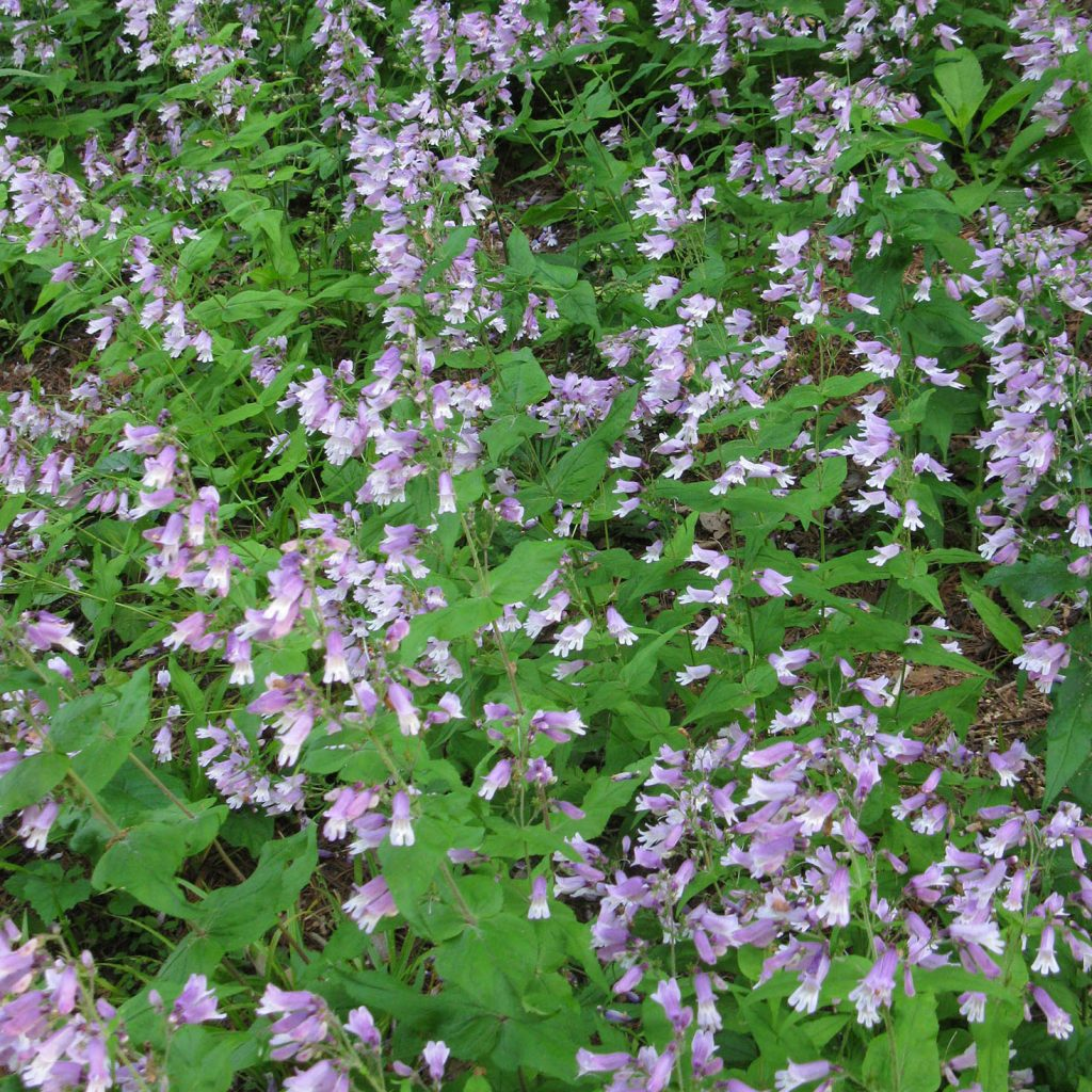 Beardtongue plant