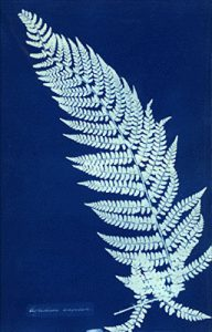 A cynotype of a fern